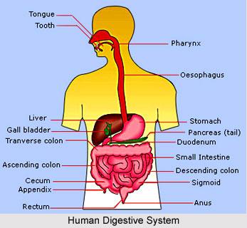 1. Human Digestive System