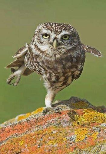 owl balance