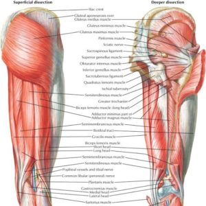 Anatomy of Hamstrings